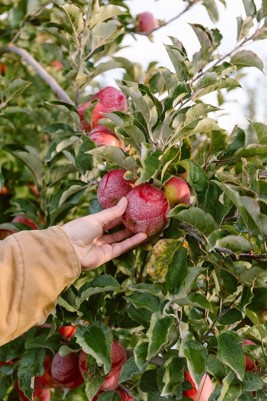 How to make apple roses - A woman in Yakima Washington is photographed as she is about to pick an apple.