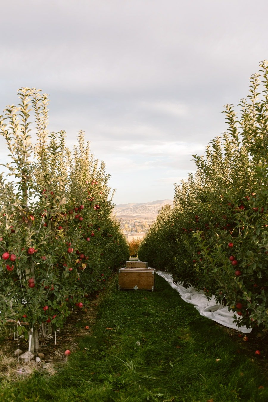How to make apple roses - Showcasing the beautiful orchards of Autumn Glory Apples in Yakima Washington.