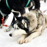 photo of a Alaskan husky from our sledding dogs experience in Stratton Mountain in Vermont
