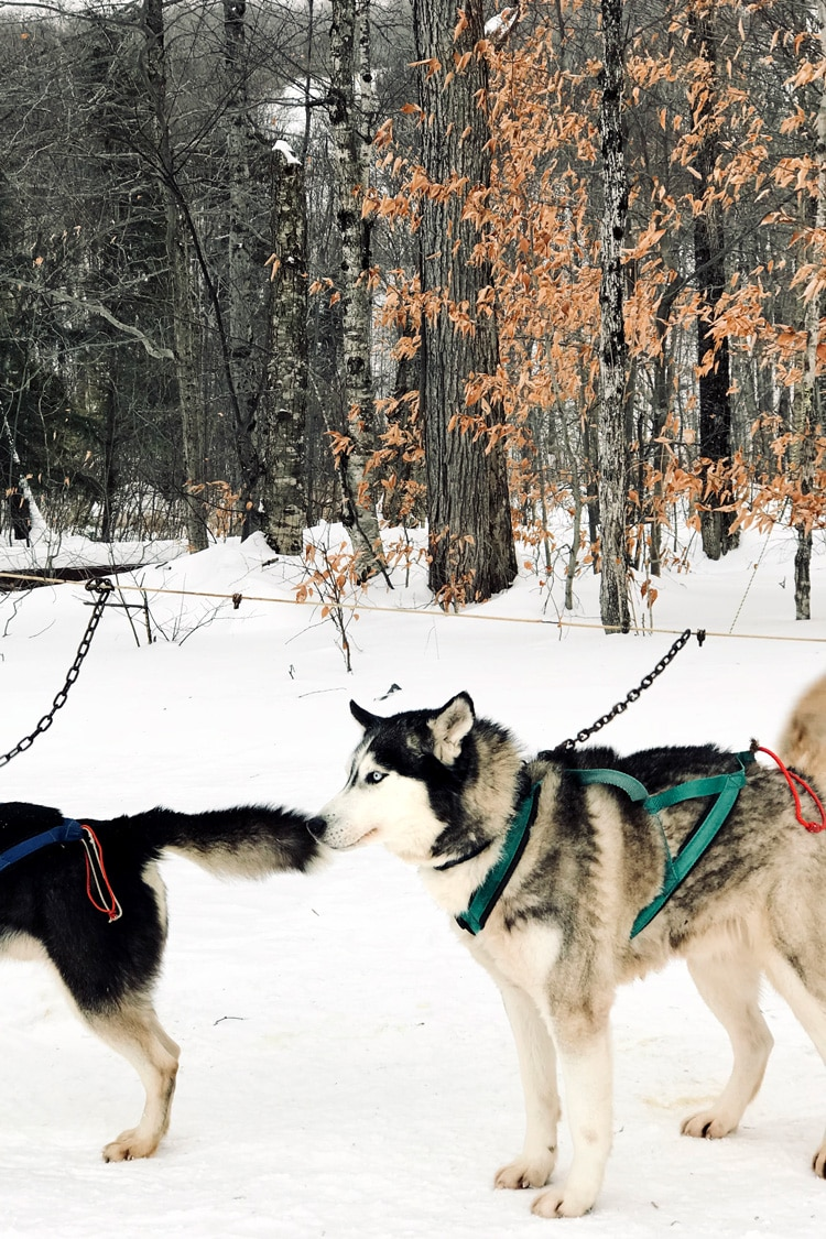 photo of two Alaskan huskies from our sledding dogs experience in Stratton Mountain in Vermont