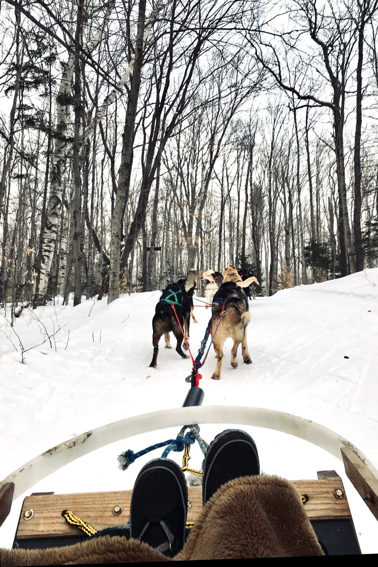 A photo taken from behind from our sledding dogs experience in Stratton Mountain in Vermont. You can easily see dogs running.