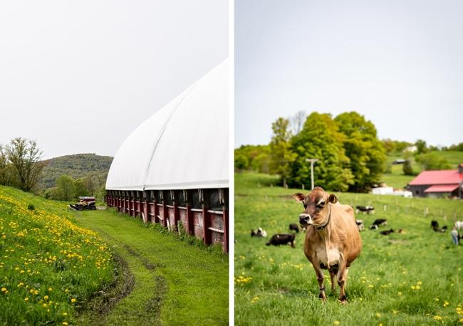farm photos with a cow