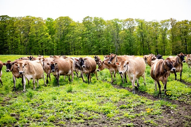 Cows pasture grazing photographed in a Stonyfield Organic farm