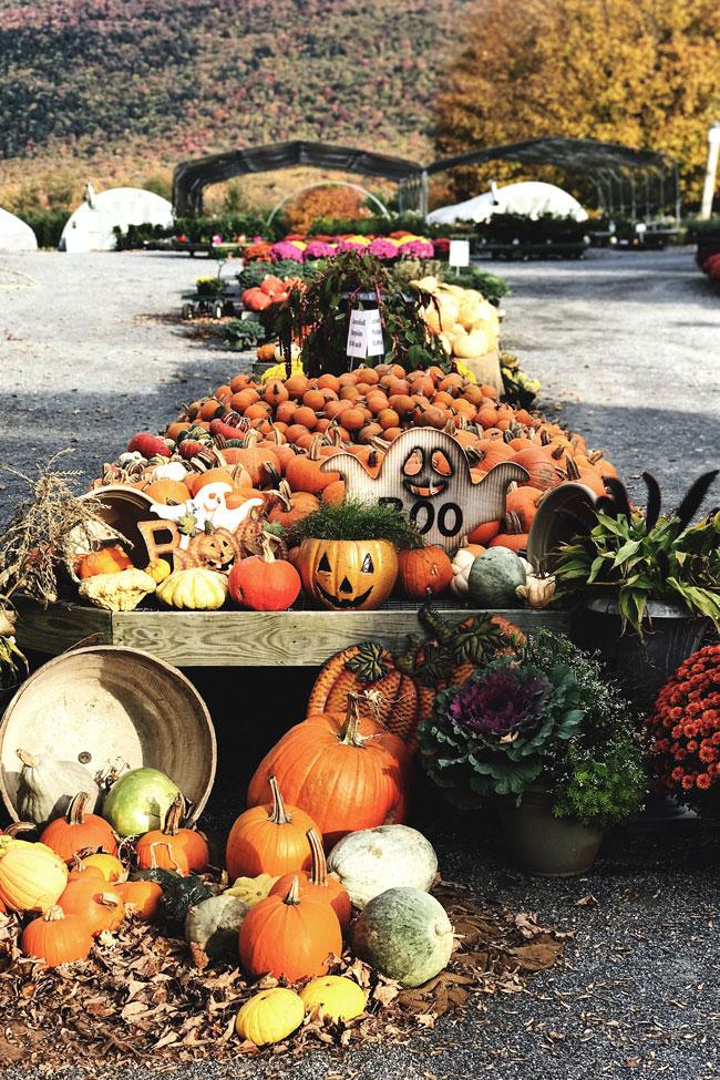 Halloween - pumpkin set up from a pumpkin patch